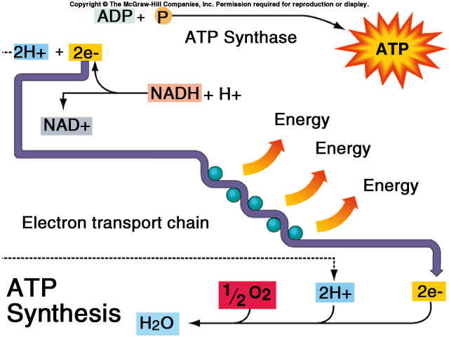 electron transport chain easy diagram gallery